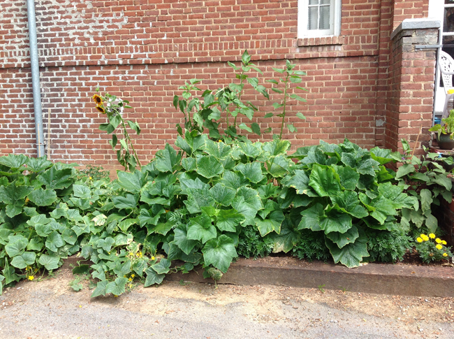 Squash bed: taking up lots of space