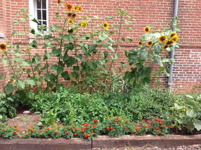 Sunflowers and Marigolds surround tomatoes and other edibles