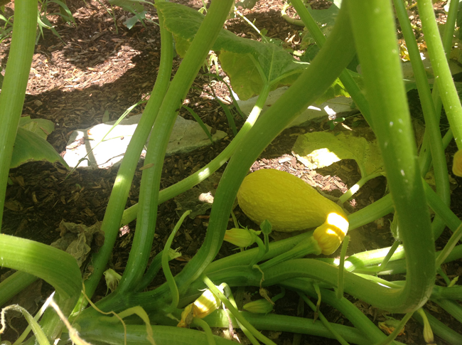 Yellow squash: ripe for the picking